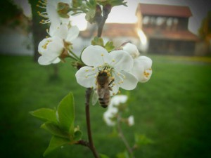Moravica cherry blossom and bee  - Stara Moravica